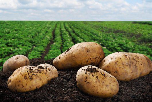 Протравители картофеля